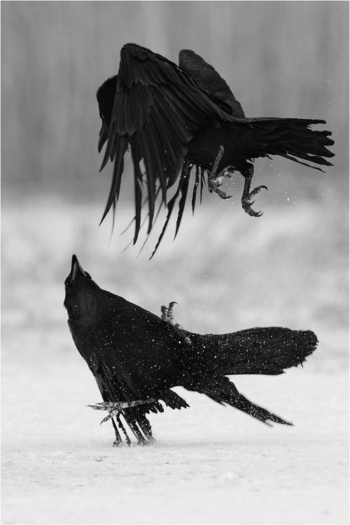 crows-playing.jpg